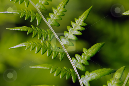 Fern stock photo, Closeup picture of a green fern branch by Alain Turgeon