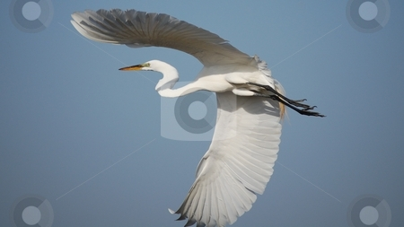 Engret in Flight stock photo,  by Brett Horne