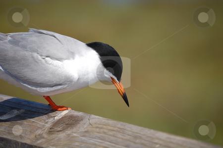 Endangered Least Tern stock photo,  by Brett Horne