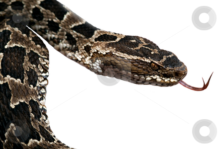 Poisonous snake stock photo, Poisonous snake fer de lance or bothrops flickering its thong by Dirk Ercken