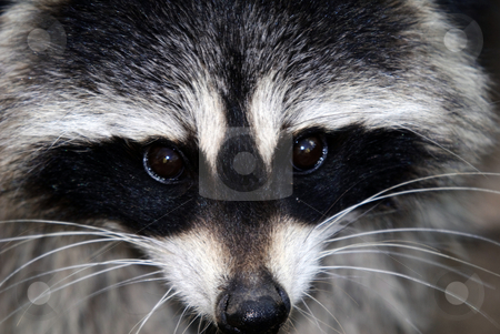 Raccoon stock photo, Close-up portrait of a wild raccoon on a sunny day by Alain Turgeon