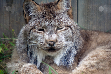 Lynx stock photo, Closeup picture of a Lynx or bobcat at rest by Alain Turgeon