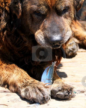 Dog Eating Fish stock photo, Brown dog eating a sliver fish by Henrik Lehnerer