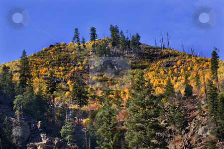 Yellow Trees Mountain Fall Colors Stevens Pass Leavenworth Washi stock photo, Yellow Trees Mountain Fall Colors Stevens Pass Leavenworth Washington, October 10, 2008 by William Perry