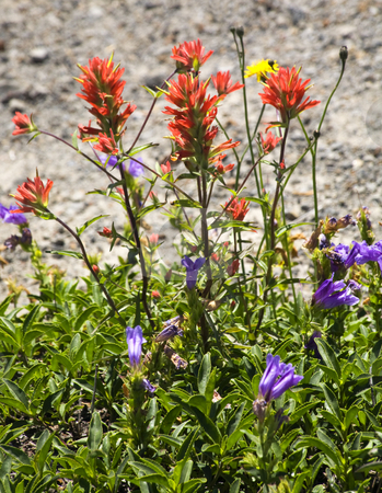 Wildflowers Close Up Red Indian Paint Brush Purple Larkspur Wash stock photo, Red Blue Wildflowers Indian Paint Brush Larkspur Close Up Mount Saint Helens Volcano National Park Washington by William Perry