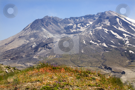 Wildflowers Caldera Mount Saint Helens National Park Washington stock photo, Wildflowers Caldera Mount Saint Helens Volcano National Park Washington by William Perry
