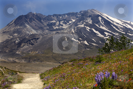 Wildflowers Trail Mount Saint Helens National Park Washington stock photo, Wildflowers Trail Red Indian Paintbrush, Purple Lupine and Larkspur, Mount Saint Helens Volcano National Park Washington by William Perry