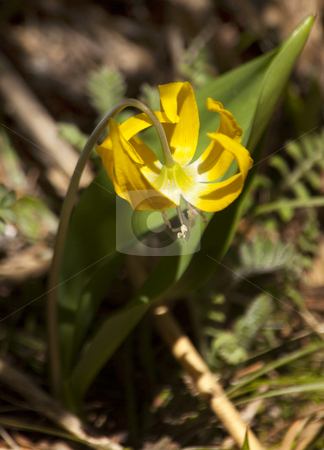Glacier Lily erythronium grandiflorum Mount Rainier Sunrise Wild stock photo, Yellow Glacier Lily Erythronium Grandiflorum Mount Rainier Sunrise Wildflowers by William Perry