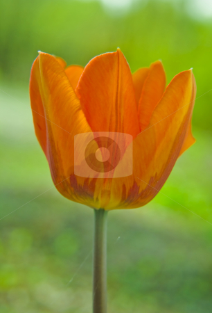 Tulip stock photo, Tulip in a close-up by Fredrik Elfdahl