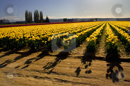 Yellow Tulip Fields with Shadows stock photo, Yellow Tulip fields with Shadows, Mount Vernon, Skagit County, Washington, Northwest in the Spring by William Perry