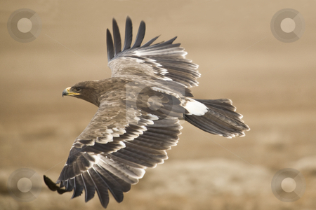 The Steppe Eagle stock photo, The Steppe Eagle flying close to the ground searching for pray by Mircea Struteanu