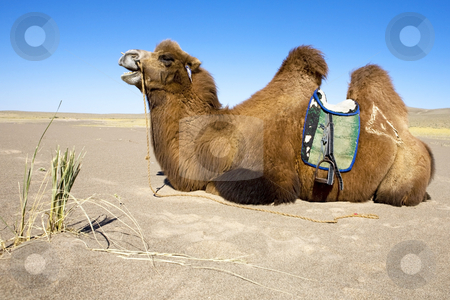 Camel waiting stock photo, Camel ready for riding in gobi desert by Mircea Struteanu
