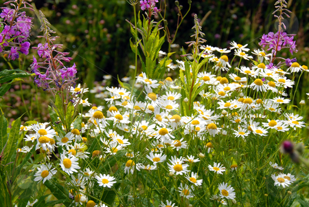 Summer flowers stock photo, Blooming daisies over green  field summer background by Julija Sapic
