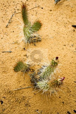 Close up to Small Cactus in Snow Canyon - Utah stock photo, Snow Canyon in St. George, Utah by Mehmet Dilsiz