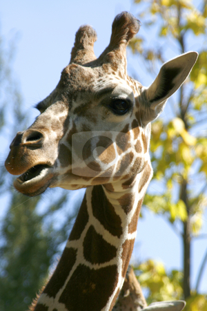 Close up on a Giraffe Looking at the Camera stock photo, Giraffe looking at the camera in a zoo by Mehmet Dilsiz