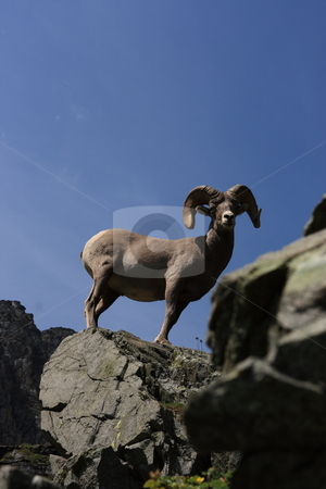 Rocky Mountain Big Horn Sheep stock photo, The bighorn is a wild sheep of the Rocky Mountains known to frequent the craggiest of rocks by John Sterrett