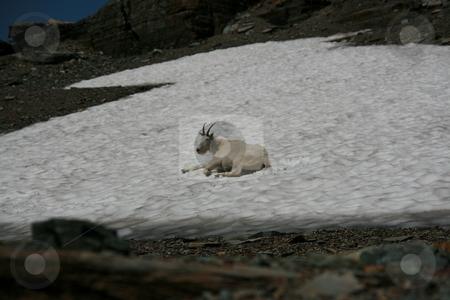 Mountain Goat stock photo, Mountain Goats in the Wilderness by John Sterrett