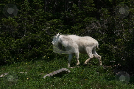 Mountain Goat stock photo, Mountain Goats in the Wilderness by John Sterrett