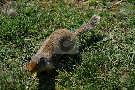Columbian Ground Squirrel stock photo, The Columbian Ground Squirrel (Spermophilus columbianus) is a species of rodent in the Sciuridae family. It is found in Canada and the United States. by John Sterrett