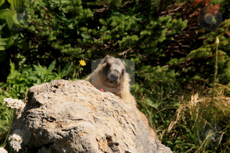 Woodchuck or Ground Hog stock photo, Woodchuck (Marmota monax) on a rock. by John Sterrett