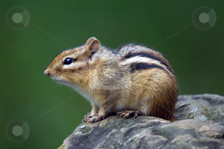 Eastern Chipmunk stock photo, Closeup picture of an Eastern Chipmunk on a rock by Alain Turgeon