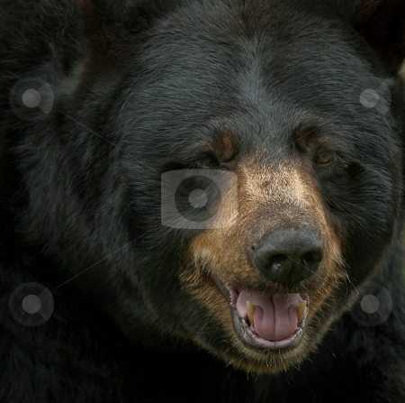 Black Bear stock photo, Extreme closeup portrait of a big black bear by Alain Turgeon