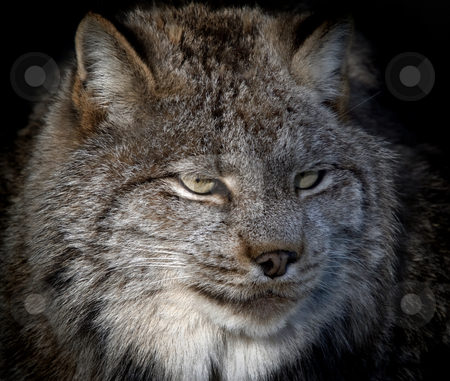 Lynx stock photo, Close-up portrait of a Canada Lynx also known as a Bobcat by Alain Turgeon