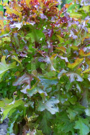 Lettuce stock photo, Fresh colourful lettuce in garden on background by Jolanta Dabrowska
