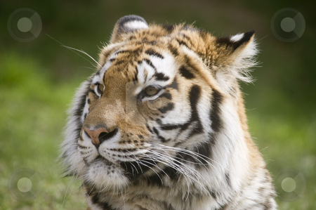 Amur Tiger stock photo, Amur Tiger (Panthera tigris altaica) looking to left of frame - landscape orientation by Stephen Meese