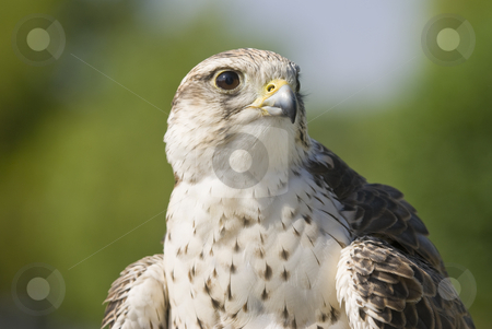Saker Falcon stock photo, Saker Falcon (Falco cherrug) - landscape orientation by Stephen Meese
