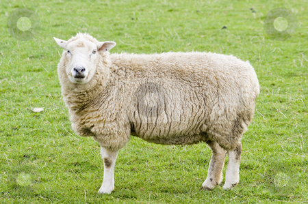 Female Sheep stock photo, Female Sheep in the Peak District National Park by Stephen Meese