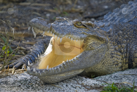 Alligator stock photo, Closeup of Alligator (alligator mississippiensis) - landscape orientation by Stephen Meese
