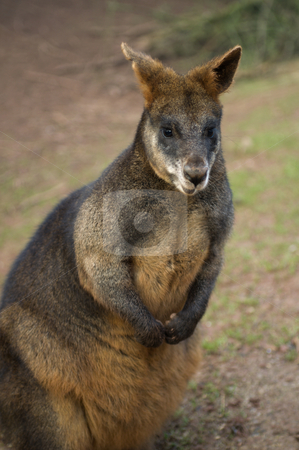 Wallaby stock photo, Young Brush Tailed Rock Wallaby (Petrogale penicillata) - portrait orientation by Stephen Meese