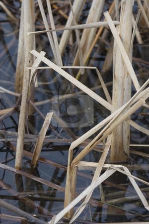 Cattail in water stock photo, Dried cattail in pond by Yann Poirier