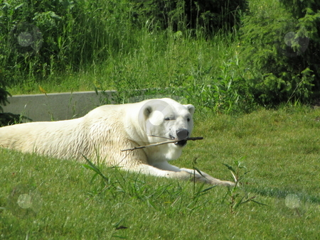Polar bear stock photo, Polar bear chewing a stick on a summer day by CHERYL LAFOND