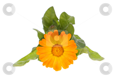 Marigold stock photo, Orange flower in leaf on white background by Jolanta Dabrowska
