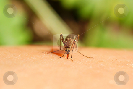 Mosquito stock photo, Mosquito drinks human blood  on green background by Jolanta Dabrowska