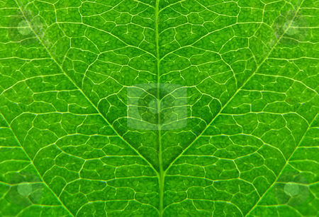 Green leaf stock photo, Green leaf as natural background by Dmitry Rostovtsev