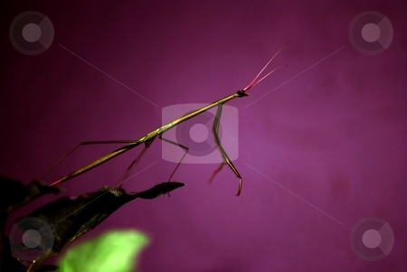 Preying mantis out of room stock photo, Preying matis on a purple back ground by Charles Bacon jr
