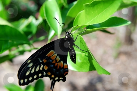 Black swallowtail butterfly stock photo, Eastern black swallowtail butterfly on a leave by Charles Bacon jr
