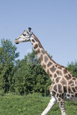 Girafe walking stock photo, Girafe walking around by Yann Poirier