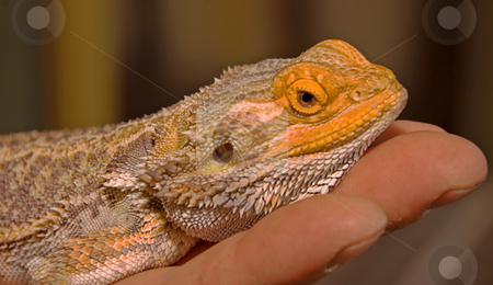 Bearded Lizard on Hand stock photo, This photo is a bearded lizard lying on a person's hand. by Valerie Garner