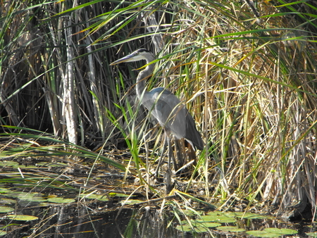 Great Blue Heron stock photo, Great Blue Heron standing in a swamp near some bulrushes by Michael Hadwen