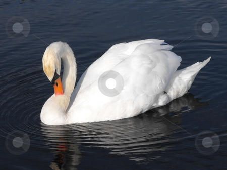 Mute Swan cleaning stock photo, Adult Mute Swan cleaning itself by Michael Hadwen