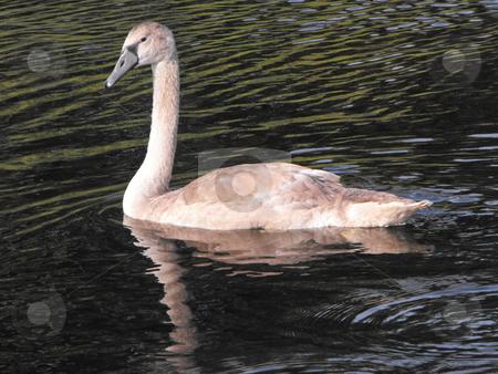 Juvenile Mute Swan stock photo, Brown juvenile Mute Swan swimming by Michael Hadwen