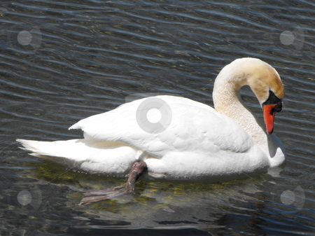 Mute Swan relaxing stock photo, Adult Mute Swan relaxing in calm water near shore by Michael Hadwen