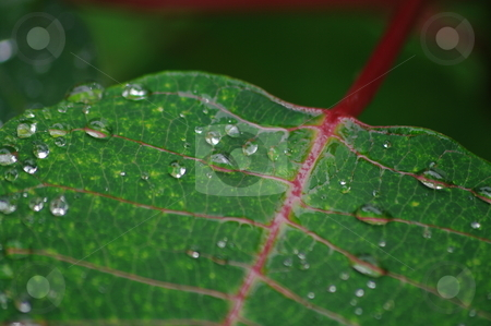 New Leaf stock photo, Water droplets on a leaf with variegated stems by Martin Darley