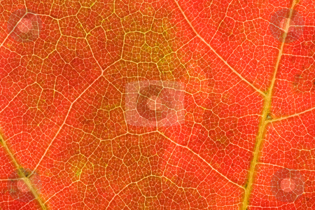 Autumn Leaf Pattern stock photo, Reddish/orange autumn leaf up close showing light green veins; perfect for use as wallpaper or background for text by Marianne Dent