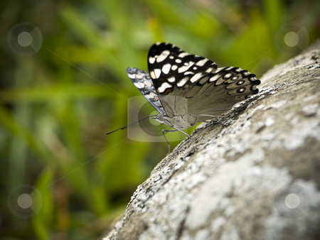 Butterfly stock photo, Macro shot of a butterfly on a rock. This picture was taken in the south of Brazil. by Ignacio Gonzalez Prado