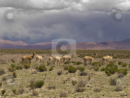 Wild guanacos stock photo, A group of wild guanacos in a remote and desolate landscape. by Ignacio Gonzalez Prado